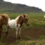 Pony Islanda