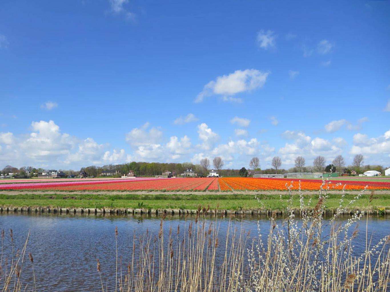 bici-e-barca-in-olanda-campo-tulipani