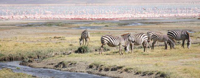 tanzania-viaggio-nozze-zebre